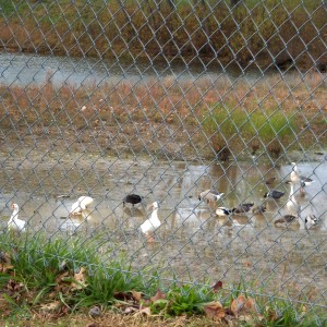 Roadside Ducks   Wordless Wednesday   #WW
